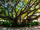 Norman Whale Gallery Hawaii Tree 1 normanwhaler.com