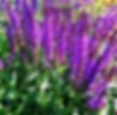 Norman Whaler Gallery Purple Flowers 2 normanwhaler.com