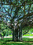 Norman Whaler Gallery Hawaii Tree 2 normanwhaler.com