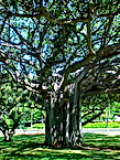 Norman Whaler Gallery Hawaii Tree 2 normanwhaler.com