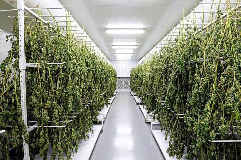Hang Drying Hemp