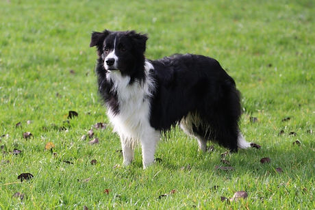 Klub Border Collie.jpg