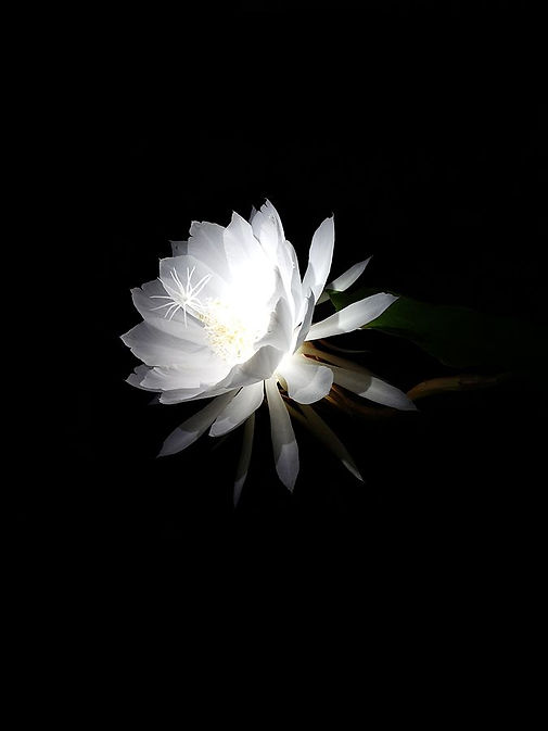 Night-blooming_cereus.jpg