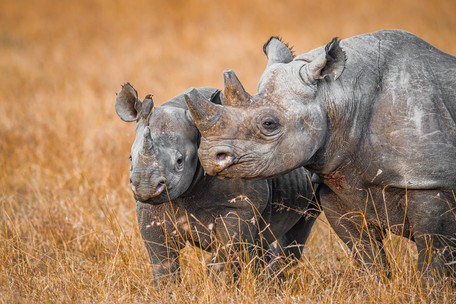 A Rhino Family