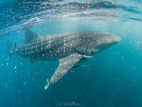 Whale Sharks in Qatar