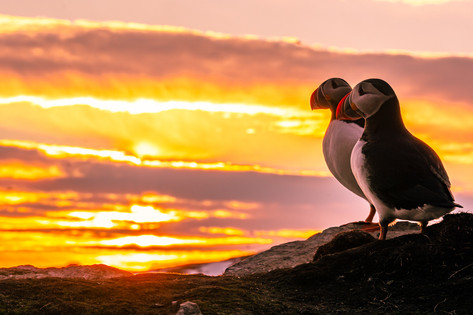 Puffins with a Sunset