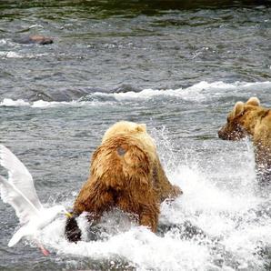 Bears Viewing