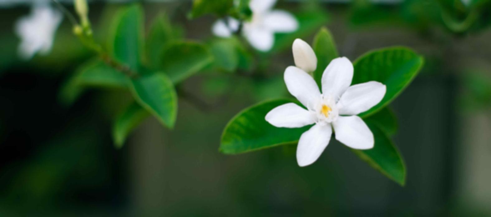 Jasmine_flower_réduite.jpg