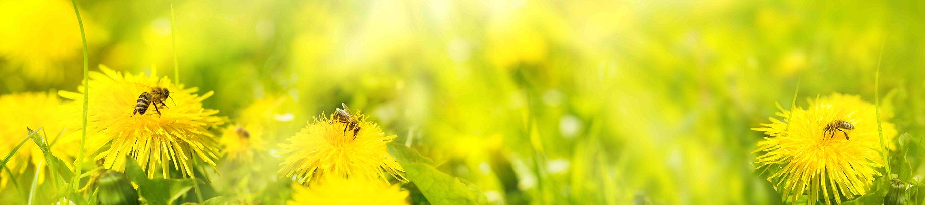 pissenlit fleur miel reduit.jpg