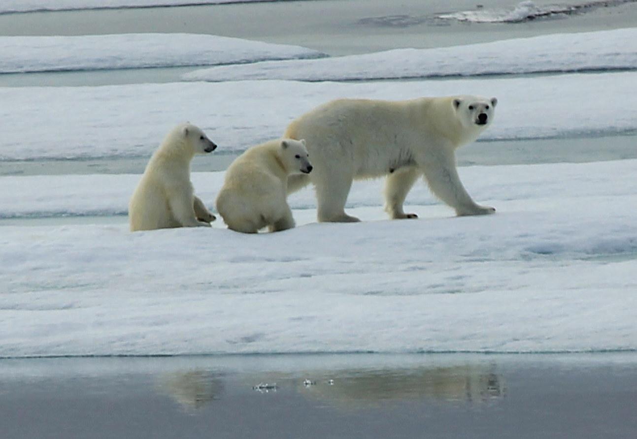 Female Polar Bear with her Cubs