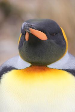 Steely-Eyed Penguin
