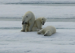Waking Female Polar Bear with Cubs on Ice Flow, Svalbad