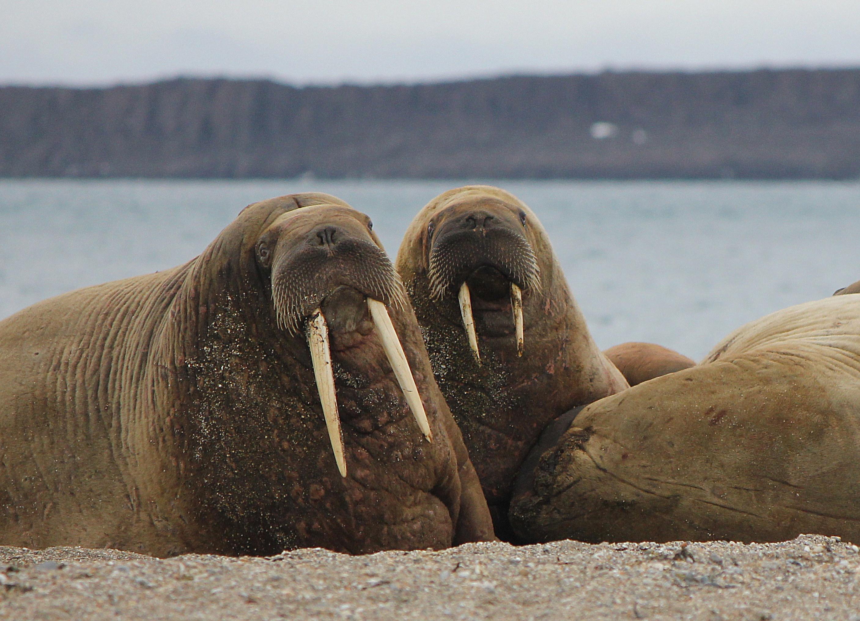 Huddle of Walruses