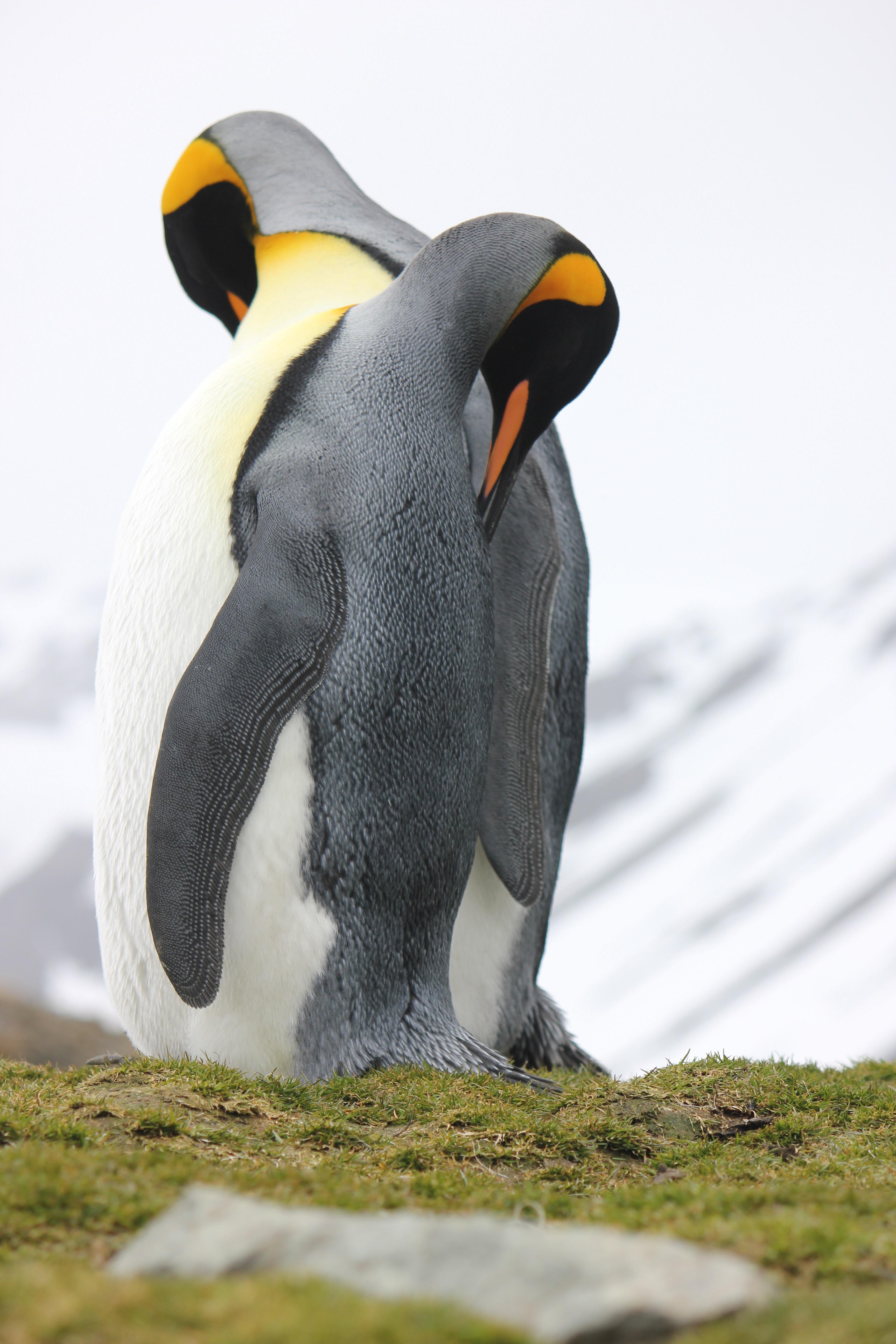 Penguins Grooming