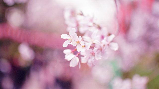 春の新作シュガーレースがでました!