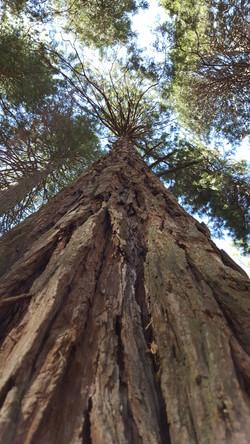Sequoia des Yosemite