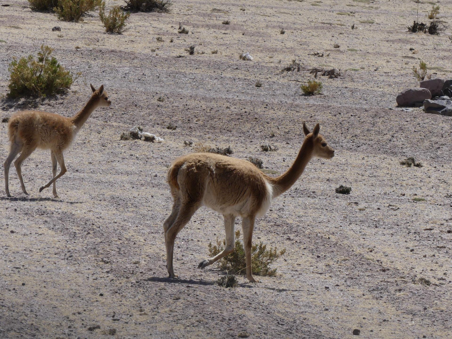 la vigogne sauvage