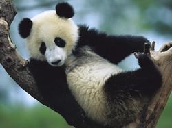 panda de Changdu