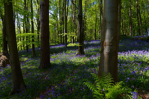 Bluebell Wood - 8x6 print in a 10x8 mount