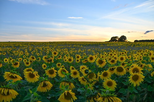 Sunflower Sunset - 8x6 print in a 10x8 mount