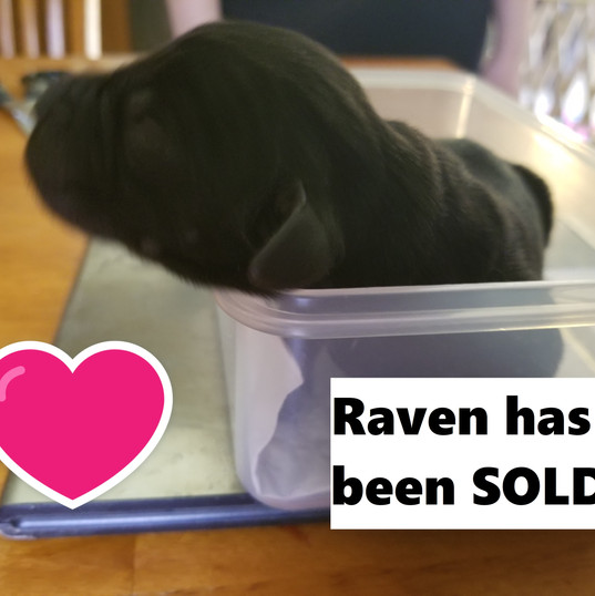 Raven_Female_Sold.jpg