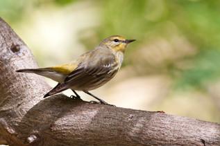 Capa may warbler(Dendroica trigana)