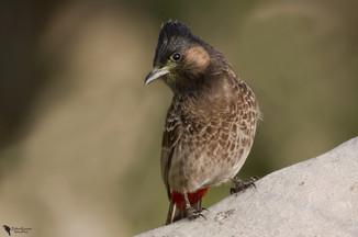 Kormos bülbül, Red-vnted Bulbul (Pycnonotus cafer)