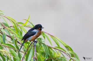 Black-throated flowerpiercer(Diglossa brunneiventris)