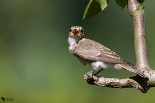 Szürke légykapó, Spotted Flycatcher(Muscicapa striata)