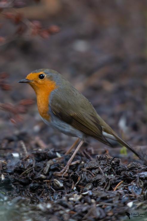 Vörösbegy, European robin,(Erithacus rubecula)