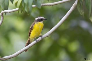 Social flycatcher(Myiozetetes similis)