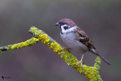 Mezei veréb, Tree sparrow, (Passer montanus)