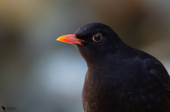 Fekete rigó, Blackbird, (Turdus merula)