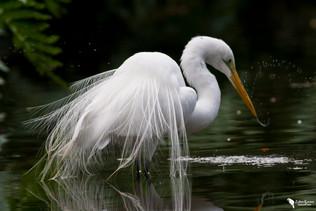 Nagy kócsag, Great White Egret (Egretta alba)