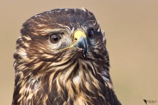 Egerészölyv, Common buzzard(Buteo buteo)