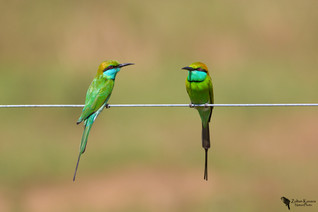 Smaragdgyurgyalag, Little Green Bee-eater (Merops orientalis)