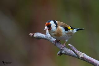 Tengelic, European goldfinch (Carduelis carduelis)