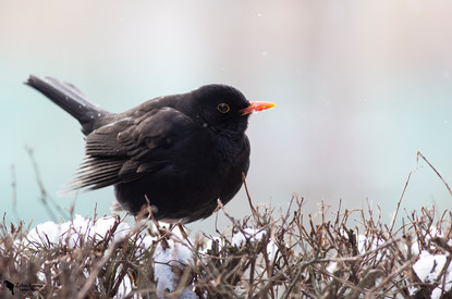 Fekete rigó, Blackbird,(Turdus merula)