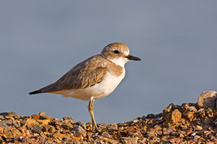 Sivatagi lile, Greater Sand Plover(Charadrius Leschenaultii)