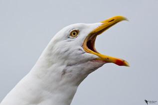 Heringsirály, Lesser Black-backed Gull (Larus fuscus)