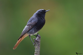 Házi rozsdafarkú, Black redstart(Phoenicurus ochruros)