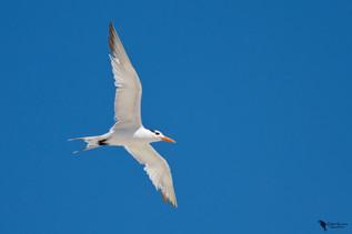 Királycsér, Royal Tern (Thalasseus maximus)