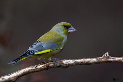 Zöldike, European greenfinch, ( Carduelis chloris)