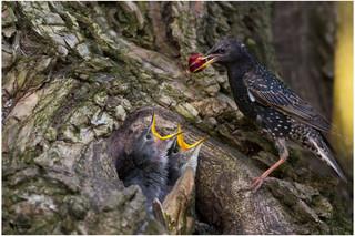 Seregély, Common Starling (Sturnus vulgaris)