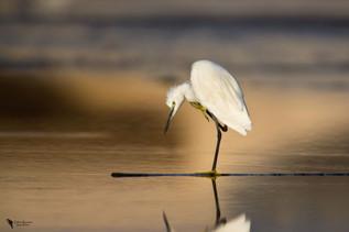 Kis kócsag, Little Egret (Egretta garzetta)