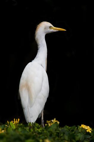 Pásztorgém, Cattle Egret (Bubulcus ibis)