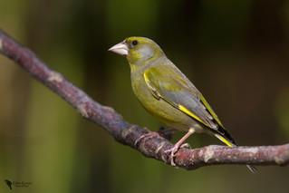 Zöldike, Greenfinch (Carduelis chloris)female