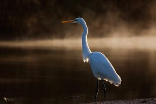 Nagy kócsag, Great egret (Ardea alba)