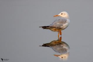 Vkonycsőrű sirály, Slender-billed Gull (Larus genei)