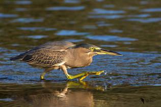Mangrovegém, Striated Heron (Butorides striata)
